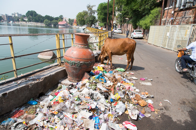 A cow forraging in rubbish